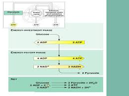 Transition Of Glycolysis To Krebs Cycle Ppt Download