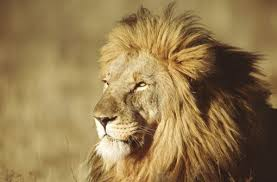 10 roarsome <b>lion</b> facts! | National Geographic <b>Kids</b>