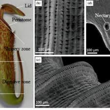 pdf nepenthes pitchers surface