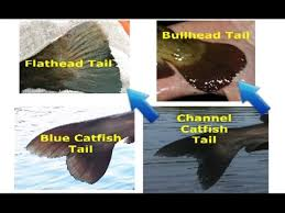 Catfish Chart How To Identify Catfish Flathead Blue Channel White Catfish Bullhead And Other Species