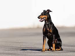 Manchester Terrier im Rasseportrait - tieranzeigen.com