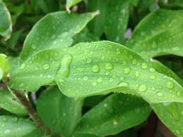 Free Droplet Plant Droplet Water Droplet Rain Free Pictures Free Photo From