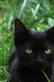 black cats with gold eyes. Interesting Gold Golden Eye 19 In Black Cats With Gold Eyes A