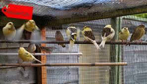 Memakai kertas koran atau kertas lainnya sebagai alas dasar kandang kenari. Cara Ternak Burung Kenari Sistem Koloni Ruangburuh Pelatihan Online No 1 Belajar Dengan Video