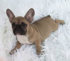 french bulldog puppy fawn. Modren Puppy Fawn French Bulldog Puppy FEMALE With Black Mask 6 And C