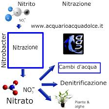 Nitrazione nellacquario di acqua dolce: da nitriti a nitrati