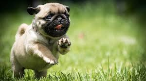 Puppies Pug Wallpapers - Wallpaper Cave