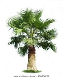 fan palm. green fan palm tree isolated on white background