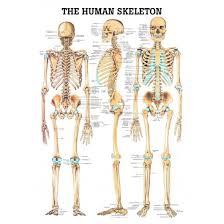 Human Bone Chart Human Skeleton Chart Laminated