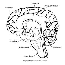 blank stem diagram blank database wiring diagram images blank brainstem diagram anatomy of brain stem diagram anatomy