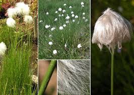 Eriophorum scheuchzeri Hoppe - Sistema informativo sulla flora ...