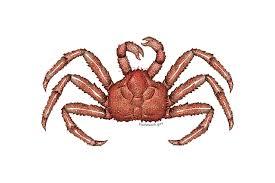 King Crab Leg Size Chart Red King Crab Noaa Fisheries