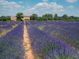 When and where does <b>lavender</b> bloom in Provence?