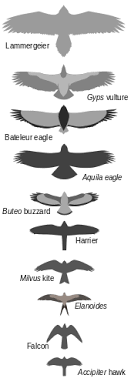 Bird Size Chart Bird Of Prey Wikipedia