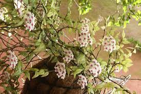 Por produzir flores rosadas e profundas,. Bela Do Jardim Revista Natureza