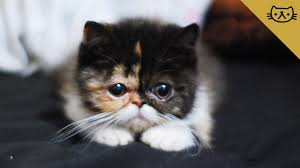 exotic shorthair. Simple Exotic To Exotic Shorthair B