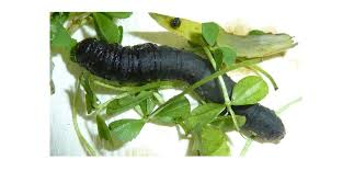 Black Cutworm Potato And Cabbage Pest In Indonesia And Western