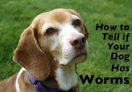 how you can tell if you dog has worms and what to do about it