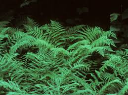 Image result for wood fern
