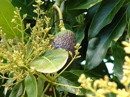 Avocado Tree Size Chart Growing Avocados Flowering Pollination And Fruit Set