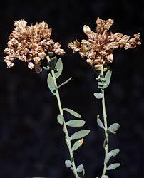 Telephium imperati L.   Flora of Israel Online