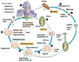 Plant Life Cycle Flow Chart Plant Life Angiosperm Life Cycle