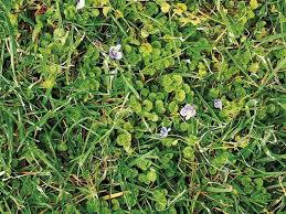 Lawn Of Common Praiseworthy 6 Weed Weeds Chart Types In