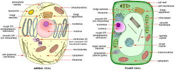 Venn Diagram On Plant And Animal Cells Animal Cell And Plant Cell Diagram Labeled Manual E Books