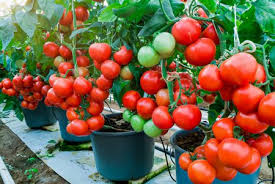 10 best vegetables for container gardens