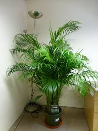 ... Chrysalidocarpus Full Image for Awesome Areca Palm Cats 39 Areca Palm  Dangerous To Cats Areca Palm Chrysalidocarpus ...