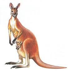 Risultati immagini per il canguro