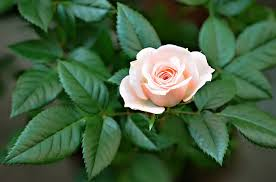 Small Picture Flower One Pink Rose Beautiful Garden Wallpapers Free Download