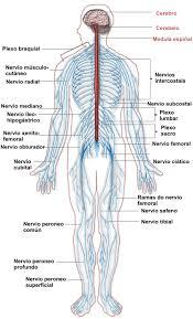 Body Injury Chart Paralysis Injury Lawyers Paraplegia Quadriplegia Attorney