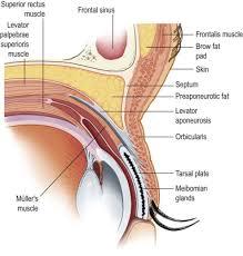 Eyelid Anatomy Eyelid Muscle An Overview Sciencedirect Topics