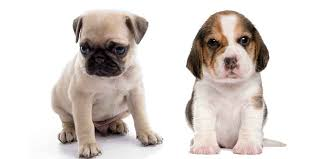 Pug Dog Vaccination Chart Pug Vs Beagle What You Need To Know To Get The Best Dog