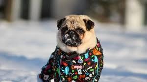 pug wallpaper 1920x1080. Unique Wallpaper 80 1920x1080 23357 Pug Dog Blanket Preview Wallpaper Snow  Jacket Winter For Pug Wallpaper A
