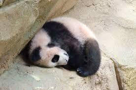 「yuan meng dormi bebe panda」の画像検索結果