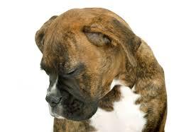lethargy or depression sad dog