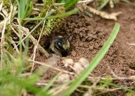 ground dwelling bees get control of ground bees massachusetts bee control
