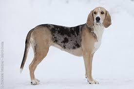 Small Picture Dunker Norwegian Hound Dunker hounds Pinterest Hound dog