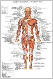 Human Body Anatomy Chart Anatomy System Human Body