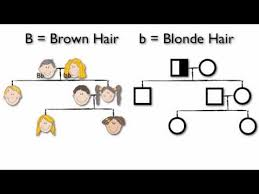 What Are Pedigree Charts Youtube
