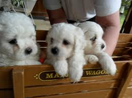 cute puppies for sale. Modren Sale Adorable Puppies For Sale For Cute Sale I
