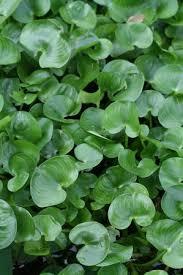 Heteranthera reniformis - Floating leaf mud plantain