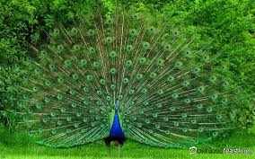 Peacock Beauty Quotes Best of No One Forgets To Like This Beautiful Peacock Downloadfeast