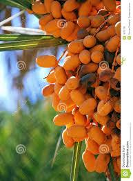Beautiful Dates Trees Farm  Oman  I Love Oman  Pinterest Palm Tree Orange Fruit