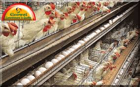 Chicken Breed Chart Pdf Layer Poultry Farming Guide For Beginners Growel Agrovet