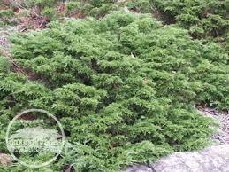 carpet juniper. calgary carpet juniper