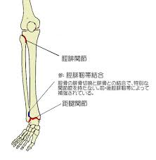 「腓骨 脛骨 距骨 関節」の画像検索結果