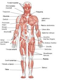 muscle system diagram   anatomy human body    muscle system diagram muscular system opencurriculum